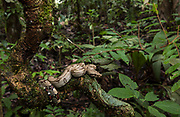 Boa Constrictor<br /> Boa constrictor<br /> Amazon.  ECUADOR, South America<br /> Range: Mexico, Central and South America