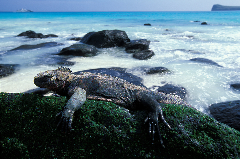 South America, Ecuador, Galapagos Islands, Marine Iguana (Amblyrhynchus cristatus) resting in morning sun on lava on Floreana Island