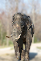 Pachyderm making its way through the elephant area looking determined enough to remove anything that gets in its way.