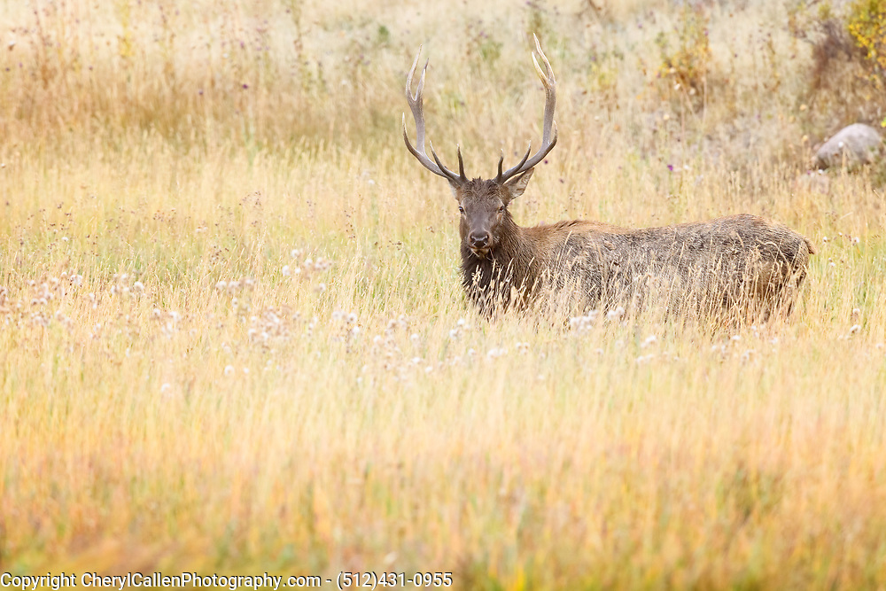 Bull Elk in the tall grassy meadow of Rocky Mountain National Park