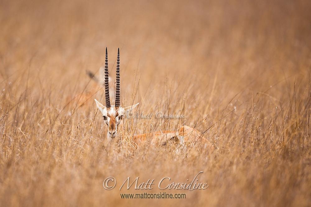Gazelle buck camouflaged in long dry savanna grass in Kenya, Africa (photo by Wildlife Photographer Matt Considine)
