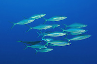 A school of Rainbow Runners on the south coast of The Dominican Republic.