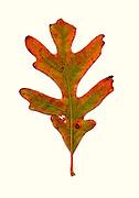 Fall leaf southeastern Ohio, White Oak