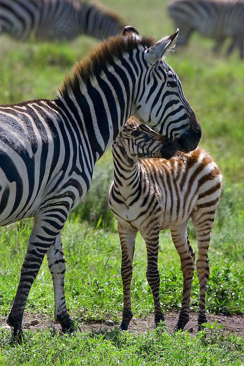 (Equus burchellii) Ngorongoro Conservation Area, Tanzania