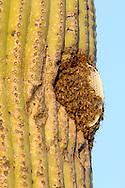 Honeybee hive (Apis mellifera) in a Saugaro cactus