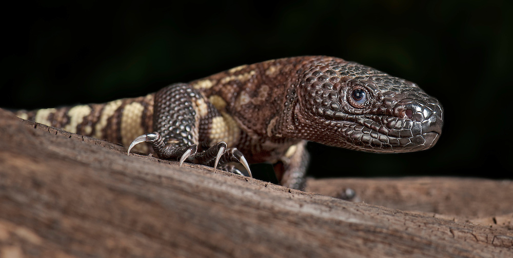 Mexican Beaded Lizard, (Heloderma horridum), captive