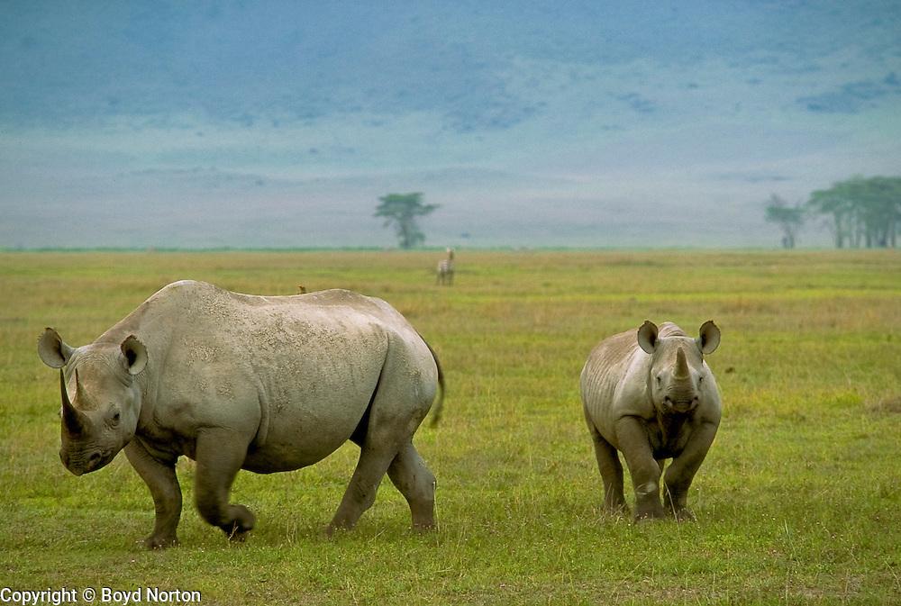 Black rhino and calf, Ngorongoro Conservation Area, Tanzania.