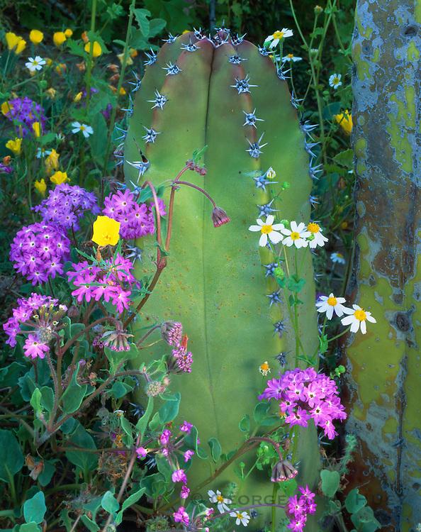 6104-1003B ~ Copyright: George H. H. Huey ~ Senita cactus [Lophocereus schottii] with sand verbena, daisies, and poppies.  Viscaino Desert.  Baja California, Mexico.