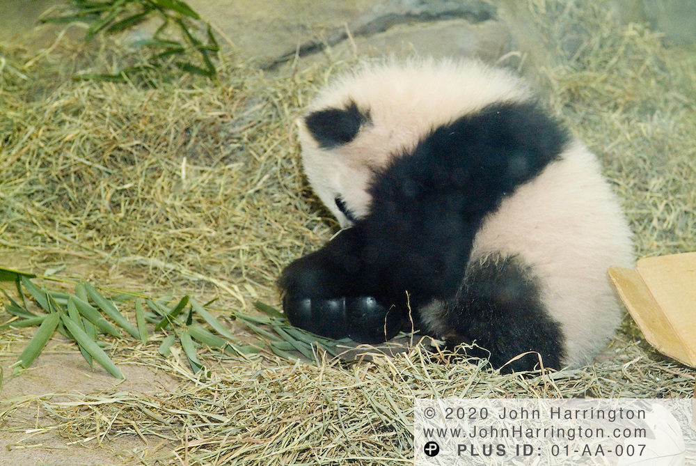 Panda Cub Tai-Shan, the newest member to the Washington DC's National Zoo, takes a stroll on Saturday December 3, 2005.