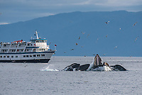 Humpback Whale bubble net feeding next to the Admiralty Dream at Morris Reef in Chatham Strait, Southeast Alaska.