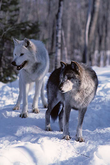 Gray Wolf, (Canis lupus) Alpha male follows alpha female in heat hoping for chance to mate. Captive Animal.