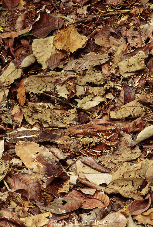 Nightjar on nest in leaf litter, Caprimulgus sp., Cocksomb Basin, Belize