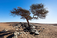 Sahara acacia tree (Acacia raddiana) in the Sahara desert with clear blue sky.