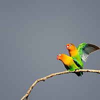 Mating Pair, Fischer's Lovebirds, Ndutu, Tanzania