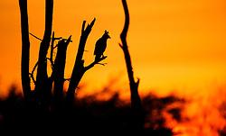 Long-crested Eagle (Lophaetus occipitalis) in Samburu, Kenya