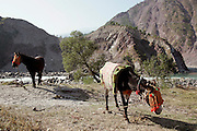 Donkeys from Brooke Hospital for Animals graze in village of Pattika, Pakistan