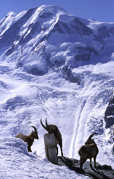 Three male Ibex rest and drink at a fountain with Monta Rosa in the background, Zermatt, Swizerland