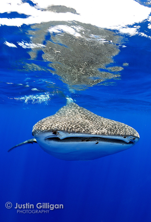 Whale shark (Rhincodon typus). Photographed off Christmas Island, Australia, in the Indian Ocean.