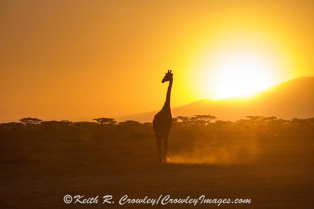 A mature Giraffe walks silhouetted against a brilliant Serengeti sunrise