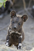 African Wild Dog<br /> Lycaon pictus<br /> 5 week old pup<br /> Northern Botswana, Africa<br /> *Endangered Species