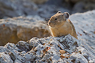 Pikas can be found at many of the high elevation boulder fields in Yellowstone National Park, including the Hoodoos between Mammoth and Golden Gate where this little fellow was spotted.