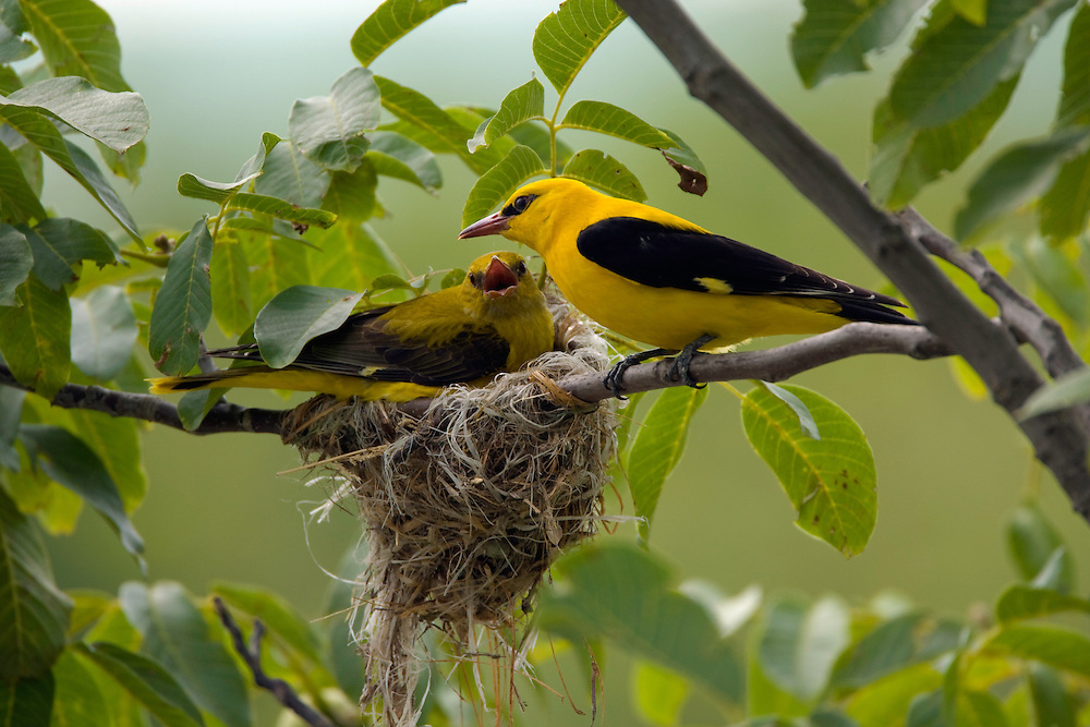Golden oriole male and female (Oriolus oriolus) at their nest, Pirol Maennchen und Weibchen am Nest, Nature Park Persina, Stadt Nikopol, Bulgaria.