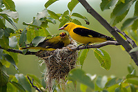Golden oriole male and female (Oriolus oriolus) at their nest, Pirol Maennchen und Weibchen am Nest, Nature Park Persina, Stadt Nikopol, Bulgaria.