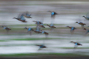 Teal ducks fly into a foggy pond on the savannah wildlife reserve just after daylight.