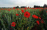 Somme Battlefield, France. Poppies on the Somme Battlefield at Rancourt.<br />Poppies grow in the shadow of the Sword of Sacrifice which stands in Rancourt Military cemetery one of the many hundreds of Commonwealth War Graves Cemeteries ( CWGC ) on the Somme battlefields of northern France. The French Military cemetery at Rancourt is marked by the Church on the right.<br />Rancourt was captured by the French on 24 September 1916, and remained in Allied hands until 24 March 1918 and the German advance. It was recaptured by the 47th (London) Division on 1 September 1918.<br /> <br /> The cemetery was begun by units of the Guards Division in the winter of 1916-17, and used again by the burial officers of the 12th and 18th Divisions in September 1918. After the Armistice, six graves from the surrounding battlefields were brought into Row E.<br /> <br /> Rancourt Military Cemetery contains 93 burials and commemorations of the First World War. 20 of the burials are unidentified but there is a special memorial to one casualty known to be buried among them. There are also three Second World War burials in the cemetery.<br /><br />The Battle of the Somme (French: Bataille de la Somme, German: Schlacht an der Somme), also known as the Somme Offensive, was a battle of the First World War fought by the armies of the British and French empires against the German Empire. It took place between 1 July and 18 November 1916 on both sides of the River Somme in France. It was one of the largest battles of World War I, in which more than 1,000,000 men were wounded or killed, making it one of the bloodiest battles in human history.  The main part of the offensive was to be made by the French Army, supported on the northern flank by the Fourth Army of the British Expeditionary Force (BEF).<br />When the German Army began the Battle of Verdun on the Meuse on 21 February 1916, many French divisions intended for the Somme were diverted and the supporting attack by the British became the prin