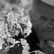 Wine grapes harvest on a late Summer day