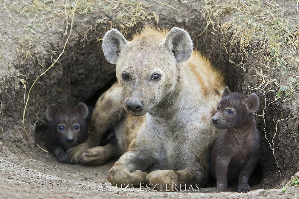 Spotted Hyena<br /> Crocuta crocuta<br /> 29 day old cubs with mother in den<br /> Masai Mara Conservancy, Kenya