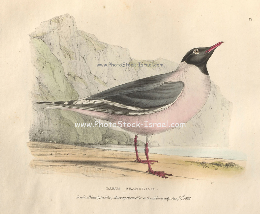 Franklin's Rosy Gull (Larus franklinii) color plate of North American birds from Fauna boreali-americana; or, The zoology of the northern parts of British America, containing descriptions of the objects of natural history collected on the late northern land expeditions under command of Capt. Sir John Franklin by Richardson, John, Sir, 1787-1865 Published 1829