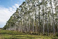 Eucalyptus Plantation, Western Shores, KwaZulu Natal, South Africa