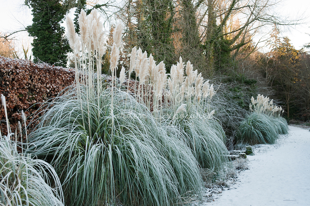 Frosted Cortoderia selloana (Pampas grass) with Fagus sylvatica (beech) hedge