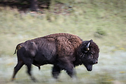 American Bison bull in motion, Vermejo Park Ranch, New Mexico, USA.