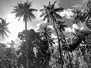 Coconut plam tree, Omoa, Fatu Hiva, Marquesas, French Polynesia, South Pacific