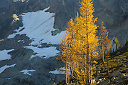 Subalpine Larch (Larix lyallii) North Cascades Washington