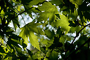 Close up of the lush green Platanus Tree (Plane Tree) leafs. Photographed in Israel in April