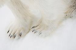 Close-up of polar bear adult feet (Ursus maritimus), Spitsbergen, Northwest Coast of the Svalbard Archipelago, Norway