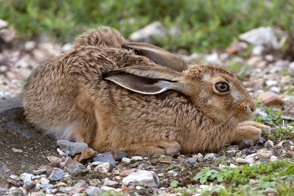 Brown Hare Lepus europaeus Length 50-75cm Rabbit-like mammal but with longer legs and ears. A fast runner; does not burrow. Performs 'boxing' displays while courting. Adult has brown coat grizzled with grey and black, especially on back. Coat is thicker, darker and redder in winter than summer. Ears are black-tipped; tail is dark above with pale fringe, and whitish below. Has 'wild' looking eyes located high on sides of head. Mostly silent. Has declined due to farming practises and persecution but still locally common on farmland and grassland.