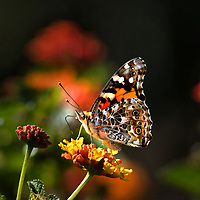 I love macro photography so I used my close up equipment to capture this amazingly lit Painted Lady butterfly photo.  The dark background really sets off the vibrant colors of the cute insect.