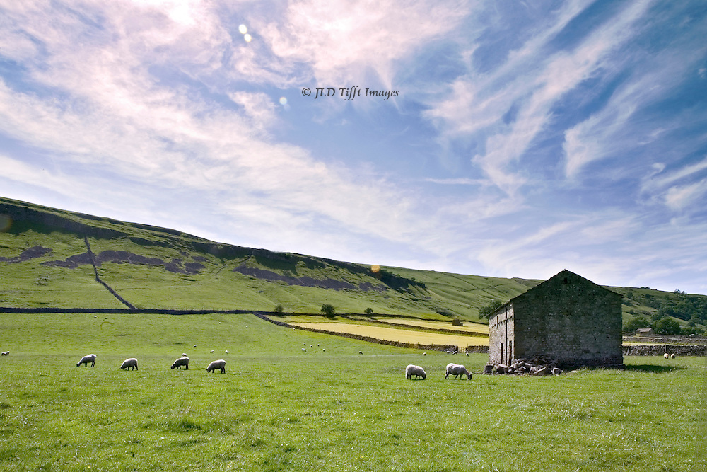 Kettlewell, Upper Wharfedale : Yorkshire Dales, sheep grazing in a field, with barn.  Wide sloping landscape with sky.