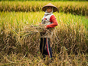 20 JULY 2016 - TAMPAKSIRING, GIANYAR, BALI: A woman pauses while harvesting rice in Tampaksiring, Bali. Rice is an important part of the Balinese culture. The rituals of the cycle of planting, maintaining, irrigating, and harvesting rice enrich the cultural life of Bali beyond a single staple can ever hope to do. Despite the importance of rice, Bali does not produce enough rice for its own needs and imports rice from nearby countries. Because of its dependable growing weather and number of micro-climates, rice cultivation is a year round activity in Bali. Some farmers can be harvesting rice, while farmers just a few kilometers away can be planting rice. Most rice in Bali is still harvested by hand.      PHOTO BY JACK KURTZ