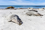 A group of Southern Elephant Seals (Mirounga leonina) sleeping on the beach, Sealion Island, Falkland Islands, South Atlantic Ocean