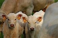 17/05/06 - VINZELLES - PUY DE DOME - FRANCE - Elevage bovin allaitant. Veaux sous la mere Charolais - Photo Jerome CHABANNE
