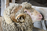 Shaggy Merino sheep with spiral horns at the Common Ground Fair, Maine.