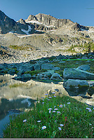 Alpine basin of Mount Rohr, in the foreground are Leafy Asters (Aster foliaceus), Coast Mountains British Columbia Canada