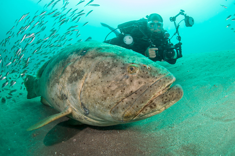 Scuba diver and Goliath Grouper, Epinephelus itajara, next to the Mispah shipwreck offshore Singer Island, Florida, United States, during a spawning aggregation in August 2014. Fish with spawning coloration.