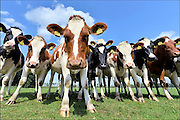 Nederland, Wichmont, 25-8-2015Koeien in de wei. Het is een groep, kudde, jonge melkkoeien. Ze zijn nieuwsgierig.FOTO: FLIP FRANSSEN/ HOLLANDSE HOOGTE