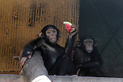WUHAN, CHINA - AUGUST 06: (CHINA OUT) <br /> <br /> To Keep Cool For Animals During Heat Wave<br /> <br /> A chimpanzee enjoys a piece of watermelon to beat the heat at Qingdao zoo on August 5, 2013 in Qingdao, Shandong Province of China. <br /> ©exclusivepix